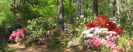 grow breed rhododendrons varieties magnolias hank schannen rare find nursery jackson nj