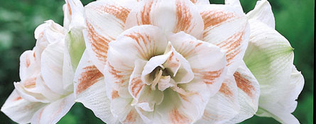 how to grow south african dutch amaryllis van engelen john scheepers