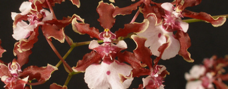 phalenopsis cattleya orchid breeder hybridizer grower carter and holmes how to care for orchids