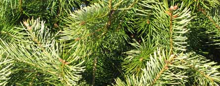 landscape design christmas tree conifer b&b