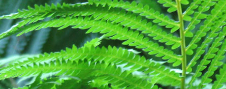 peterson field guide ferns northeast